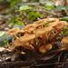 Armillaria tabescens - Photo (c) Sarah Gregg,  זכויות יוצרים חלקיות (CC BY-NC-SA)