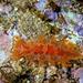 Marionia blainvillea - Photo (c) Parent Géry, algunos derechos reservados (CC BY-SA)