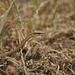 Psammophis biseriatus - Photo (c) Scouten, algunos derechos reservados (CC BY-SA)