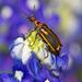 Pyrota insulata - Photo (c) greglasley, algunos derechos reservados (CC BY-NC), uploaded by Greg Lasley