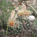 Missouri Foxtail Cactus - Photo (c) ellen hildebrandt, some rights reserved (CC BY-NC)