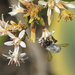 Megachile saulcyi - Photo (c) orlandomontes, alguns direitos reservados (CC BY-NC)