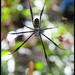 Trichonephila fenestrata - Photo (c) Bruce,  זכויות יוצרים חלקיות (CC BY-NC-ND)