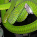 Eastern Green Mamba - Photo (c) Dick Culbert, some rights reserved (CC BY)