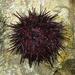 Mesocentrotus nudus - Photo (c) V.S. Volkotrub,  זכויות יוצרים חלקיות (CC BY-NC)