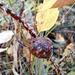 Diplolepis spinosa - Photo Sem direitos reservados