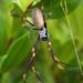 Trichonephila plumipes - Photo (c) Cyron Ray Macey, algunos derechos reservados (CC BY)