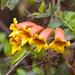 Bignonia capreolata - Photo (c) greglasley,  זכויות יוצרים חלקיות (CC BY-NC), uploaded by Greg Lasley