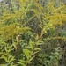 Harger's Goldenrod - Photo (c) cassi saari, some rights reserved (CC BY-NC)