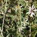 Eurybia glauca - Photo no hay derechos reservados