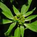 Euphorbia dentata - Photo (c) Jerry Oldenettel, algunos derechos reservados (CC BY-NC-SA)