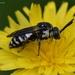 Epeolus fallax - Photo (c) Orlando Ferguson, μερικά δικαιώματα διατηρούνται (CC BY-NC-ND)