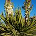 Yucca schidigera - Photo (c) Jay Iwasaki, μερικά δικαιώματα διατηρούνται (CC BY)