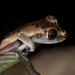Boana appendiculata - Photo (c) incaroads0, alguns direitos reservados (CC BY-NC), uploaded by Brian Lee