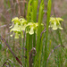 Pale Pitcher Plant - Photo (c) greglasley, some rights reserved (CC BY-NC), uploaded by Greg Lasley