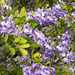 Texas Mountain Laurel - Photo (c) greglasley, some rights reserved (CC BY-NC), uploaded by Greg Lasley