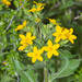 Texas Yellow Star - Photo (c) greglasley, some rights reserved (CC BY-NC), uploaded by Greg Lasley