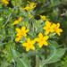 Lindheimera texana - Photo (c) greglasley, algunos derechos reservados (CC BY-NC), uploaded by Greg Lasley