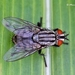 Calyptrate Flies - Photo (c) Marcello Consolo, some rights reserved (CC BY-NC-SA), uploaded by Marcello Consolo