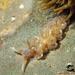 Spurilla neapolitana - Photo (c) whodden, μερικά δικαιώματα διατηρούνται (CC BY-NC)