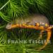 Cynops orientalis - Photo (c) 2007 Frank Teigler, algunos derechos reservados (CC BY-NC)