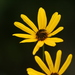 Narrowleaf Sunflower - Photo (c) Devin Moon, some rights reserved (CC BY-NC)