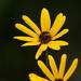 Helianthus angustifolius - Photo (c) Devin Moon, μερικά δικαιώματα διατηρούνται (CC BY-NC)