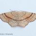 Cyclophora punctaria - Photo (c) 57Andrew, algunos derechos reservados (CC BY-NC-ND)