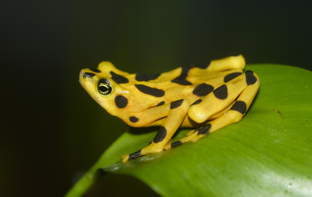 Panamanian Golden Frog - Photo (c) Brian Gratwicke, some rights reserved (CC BY)