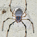 Ornamental Tree Trunk Spider - Photo (c) Vijay Anand Ismavel, some rights reserved (CC BY-NC-SA)