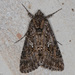 Cabbage Looper Moth - Photo (c) Greg Lasley, some rights reserved (CC BY-NC)