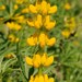 Yellow Lupin - Photo (c) Joseolgon, some rights reserved (CC BY-SA)