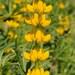 תורמוס צהוב - Photo (c) Joseolgon,  זכויות יוצרים חלקיות (CC BY-SA)