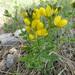 Thermopsis rhombifolia - Photo Masebrock, ei tunnettuja tekijänoikeusrajoituksia (Tekijänoikeudeton)