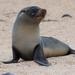 Lobo Fino de Las Galápagos - Photo (c) John D Reynolds, algunos derechos reservados (CC BY-NC)