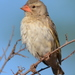South African Red-billed Quelea - Photo (c) copper, some rights reserved (CC BY-NC)