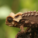 Brookesia - Photo (c) David d'O, alguns direitos reservados (CC BY-NC-SA)