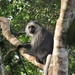 King Colobus - Photo (c) benbarca, some rights reserved (CC BY-NC)