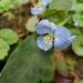 Hierba del Pollo - Photo (c) Suzanne Cadwell, algunos derechos reservados (CC BY-NC)