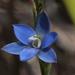 Thelymitra aemula - Photo (c) Bill Campbell, algunos derechos reservados (CC BY-NC)