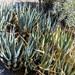 Agave deserti deserti - Photo (c) BJ Stacey, algunos derechos reservados (CC BY-NC)