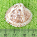 Chionopsis intapurpurea - Photo (c) Chuck Sexton,  זכויות יוצרים חלקיות (CC BY-NC)