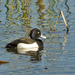 Scaups, Pochards, and Allies - Photo (c) Joaquim Coelho, some rights reserved (CC BY-NC-ND)