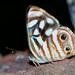 Mariposa Marinero Mexicano - Photo (c) Cláudio Dias Timm, algunos derechos reservados (CC BY-NC-SA)