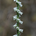 Southern Slender Ladies'-Tresses - Photo (c) Eric Hunt, some rights reserved (CC BY-SA)
