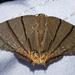 Orudiza protheclaria - Photo (c) Vijay Anand Ismavel, algunos derechos reservados (CC BY-NC-SA)