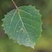 Populus grandidentata - Photo (c) Brad Walker,  זכויות יוצרים חלקיות (CC BY-NC)