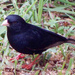 Variable Indigobird - Photo (c) Alan Manson, some rights reserved (CC BY-SA)