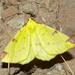 Brimstone Moth - Photo (c) Bernard DUPONT, some rights reserved (CC BY-NC-SA)