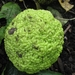 Osage-Orange - Photo (c) RASSIL, some rights reserved (CC BY-SA)